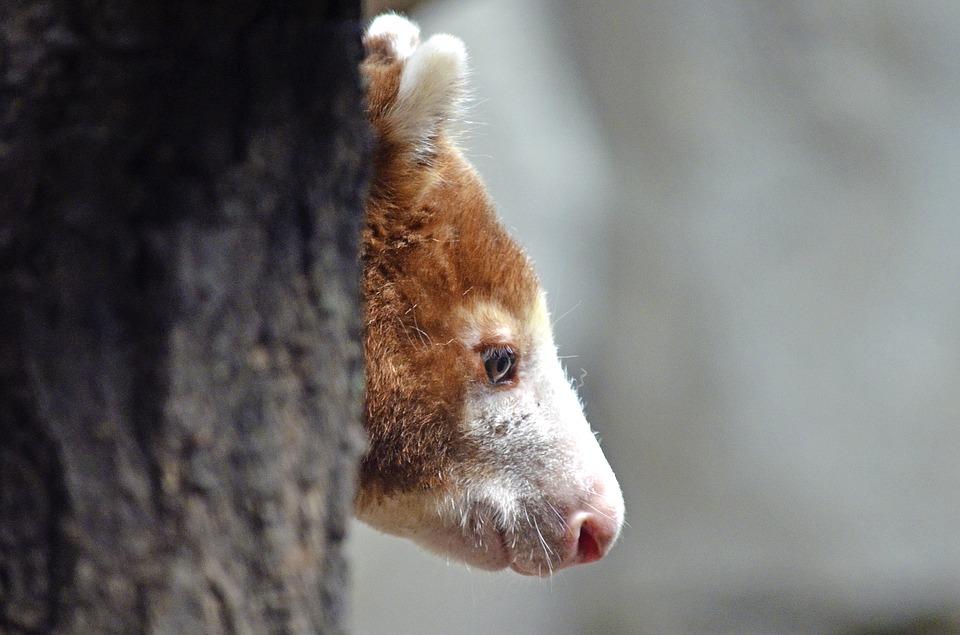 Gesichtsprofil eines Baumkängurus