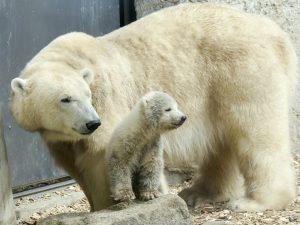 Eisbärenmutter mit ihrem Jungen