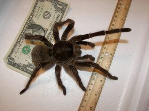 Goliath-Spinne mit Geldschein & Lineal