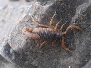 Indischer roter Skorpion