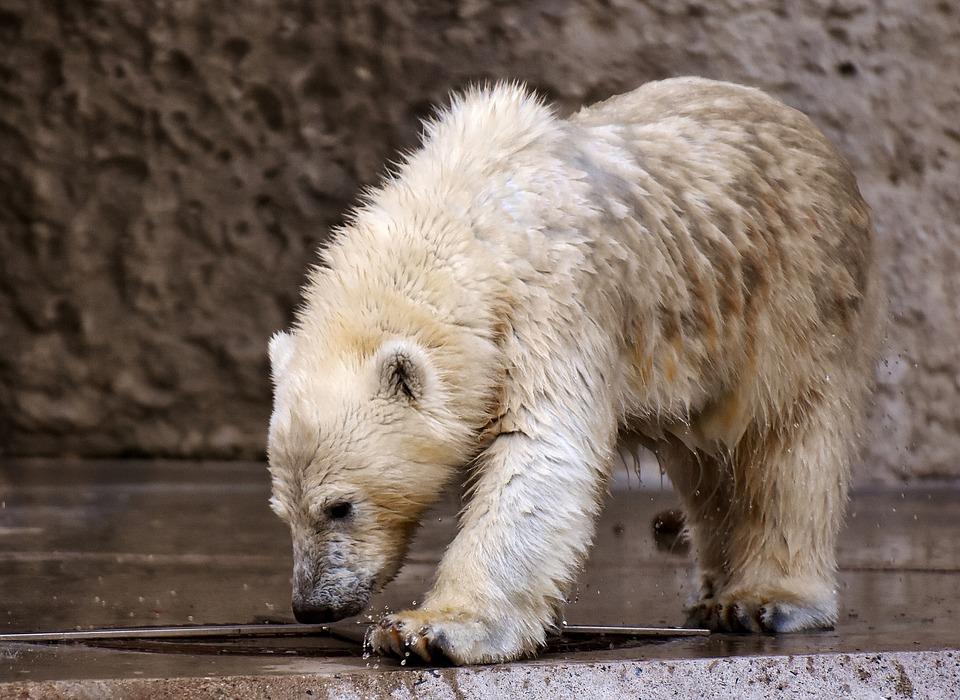 Junger Eisbär mit nassem Fell