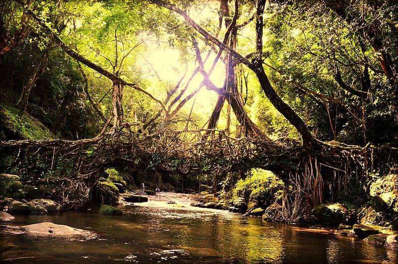 Lebende Brücke - Meghalaya - Indien