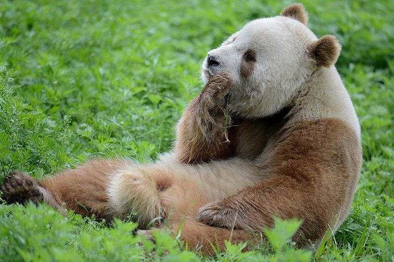 "Qinling ""Brown"" Panda"