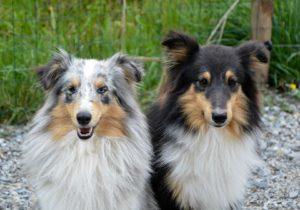 Shelties (rechts) ohne und (links) mit Merle-Gen