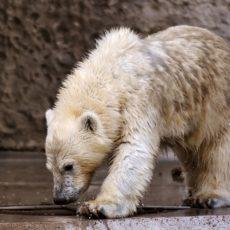 Die schwarze Haut der Eisbären