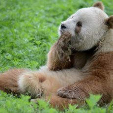 Nicht immer schwarz-weiß — Qinling Pandas