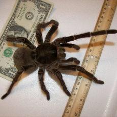 Der Riese der Spinnenwelt — Goliath-Spinne