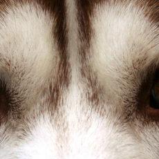 Odd-Eyes — ein Augenpaar, zwei Farben