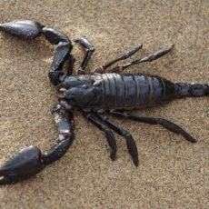 Skorpione: Grundwissen und Fortpflanzung