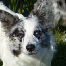 Border-Collie mit Merle-Faktor