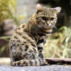 Die kleinsten Wildkatzen der Welt!