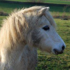 Falabellas — Die kleinsten Ponys der Welt